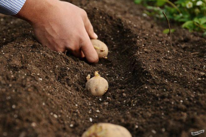 Как выращивать картофель
