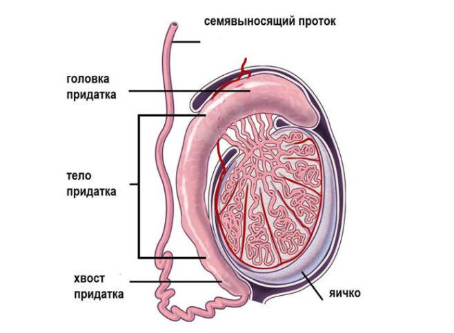 Что такое эпидидимит
