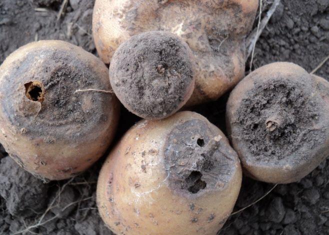 Как бороться с картофельной гнилью