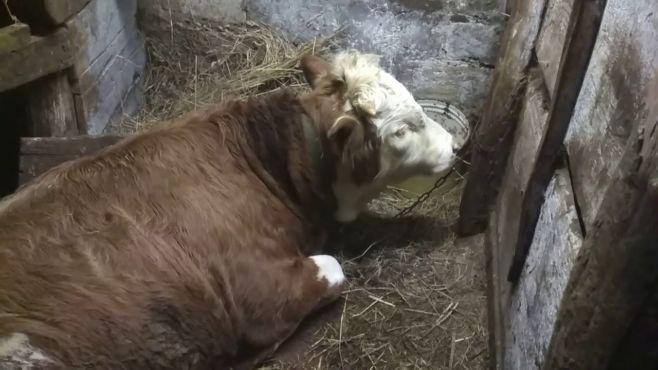 Как ухаживать за быком